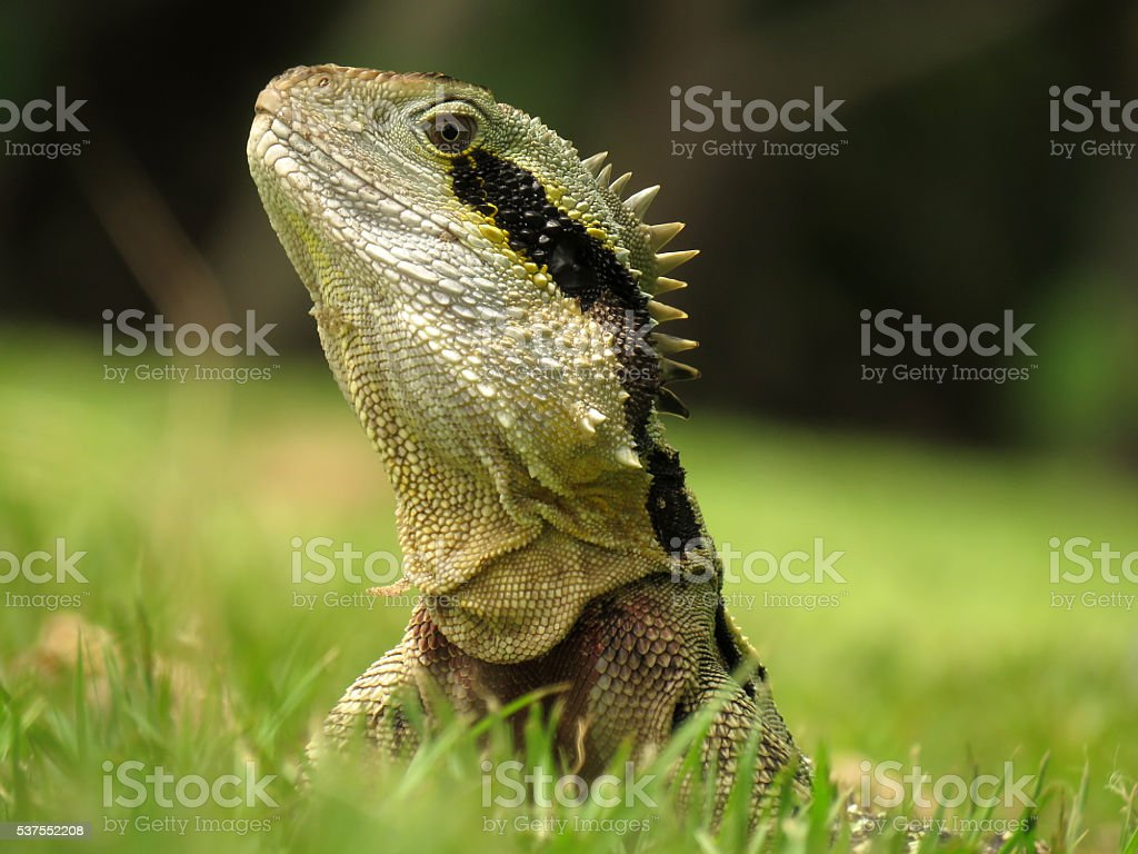 Eastern Water Dragon stock photo