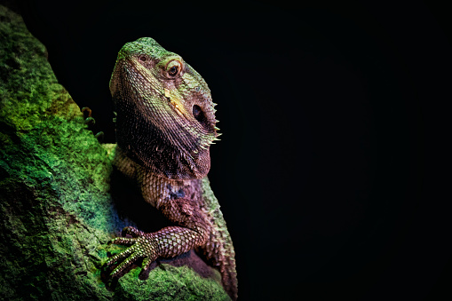 Close up of an Eastern water dragon with copy space.