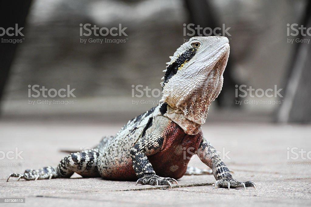 Eastern Water Dragon, Queensland (Australia) stock photo