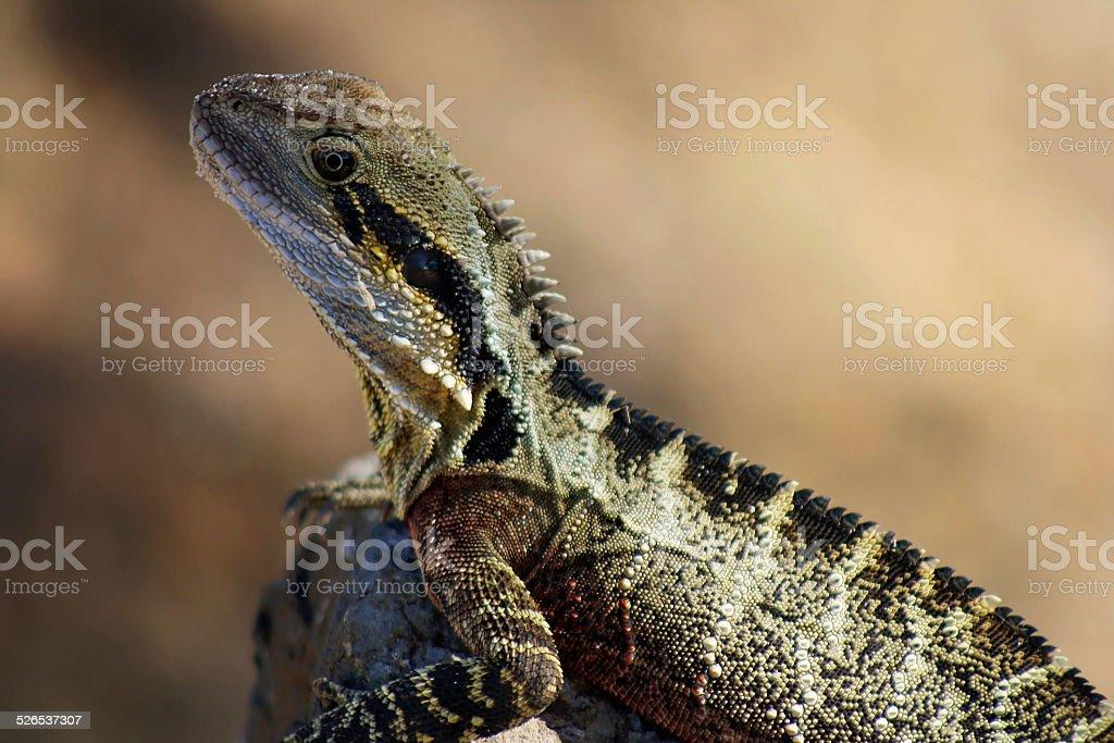 Eastern water dragon sunbathing in the sun stock photo