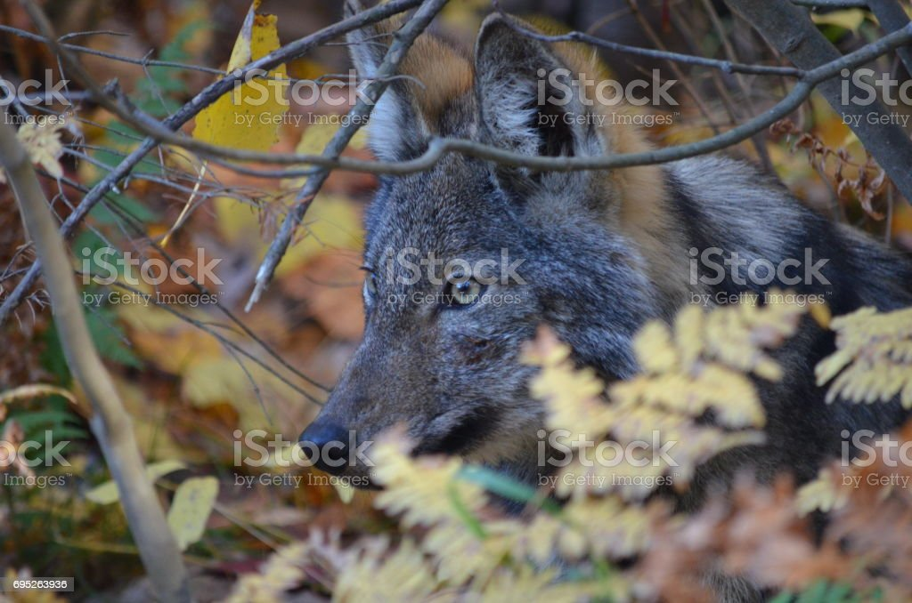 Eastern Wolf in natural habitat stock photo