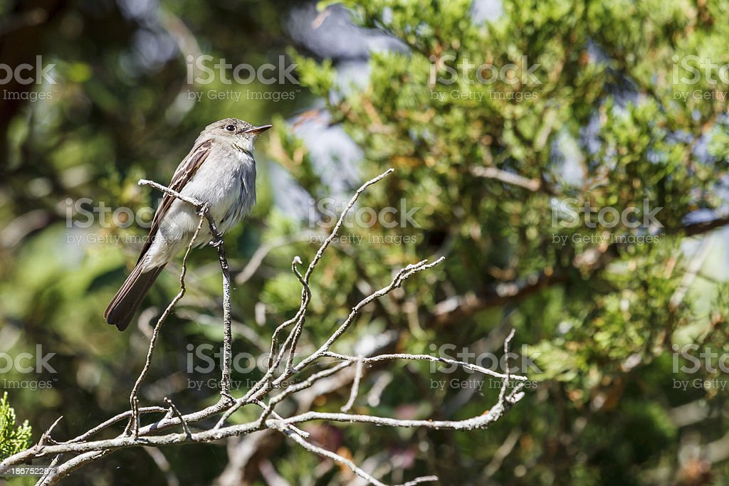 Eastern Wood Peewee (Contopus virens) royalty-free stock photo