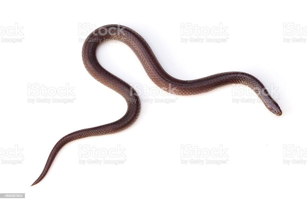 Eastern Wormsnake stock photo
