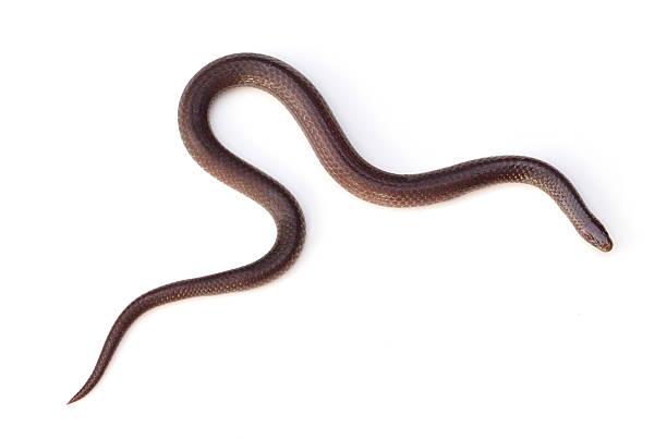 wormsnake orientale - serpent photos et images de collection