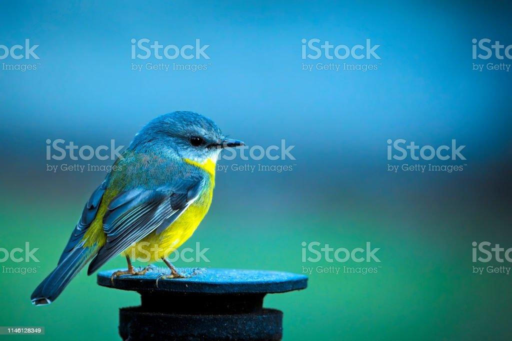 Eastern Yellow Robin (Eopsaltria australis) - Royalty-free Animal Stock Photo