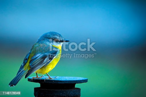 Tiny yellow robin outdoors