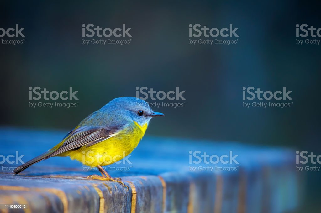 Eastern Yellow Robin (Eopsaltria australis) - Royalty-free Animal Stock Photo