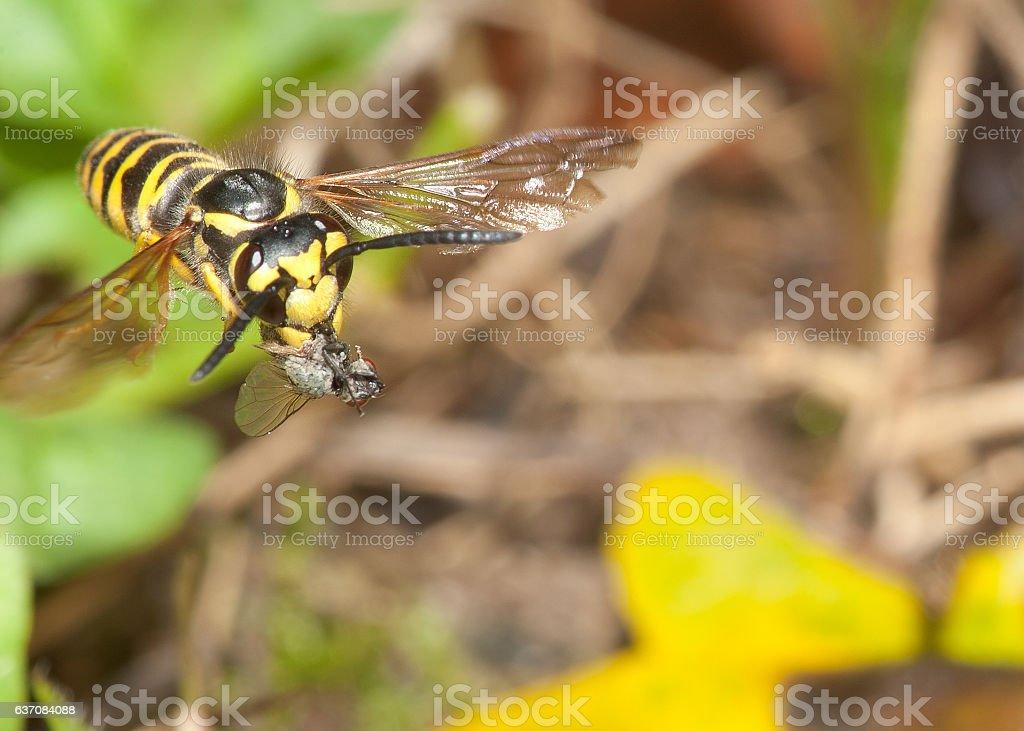 Eastern Yellowjacket and prey stock photo