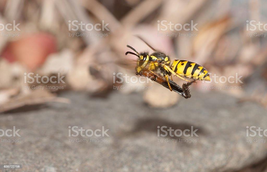 Eastern Yellowjacket stock photo