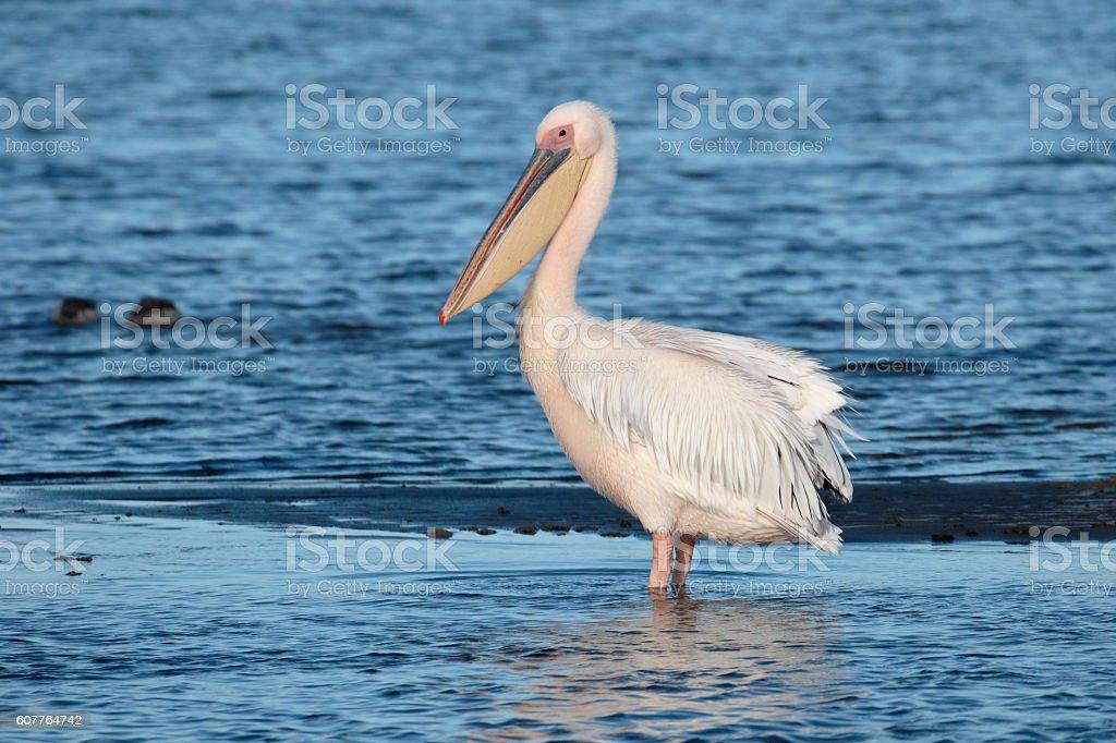 Eastern-white pelican, Pelecanus onocrotalus stock photo