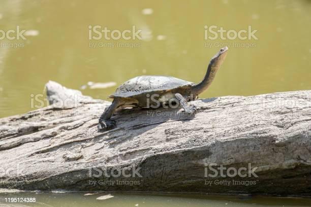Eastrn longnecked turtle picture id1195124388?b=1&k=6&m=1195124388&s=612x612&h=nh 2mc4 v 3banltonezflmeniqppobjqzqwvz1ec7o=