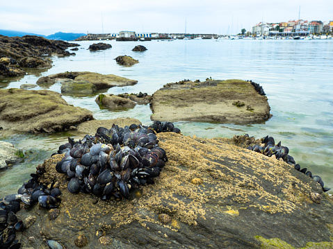 Eatable Mussels On A Rock Stock Photo - Download Image Now