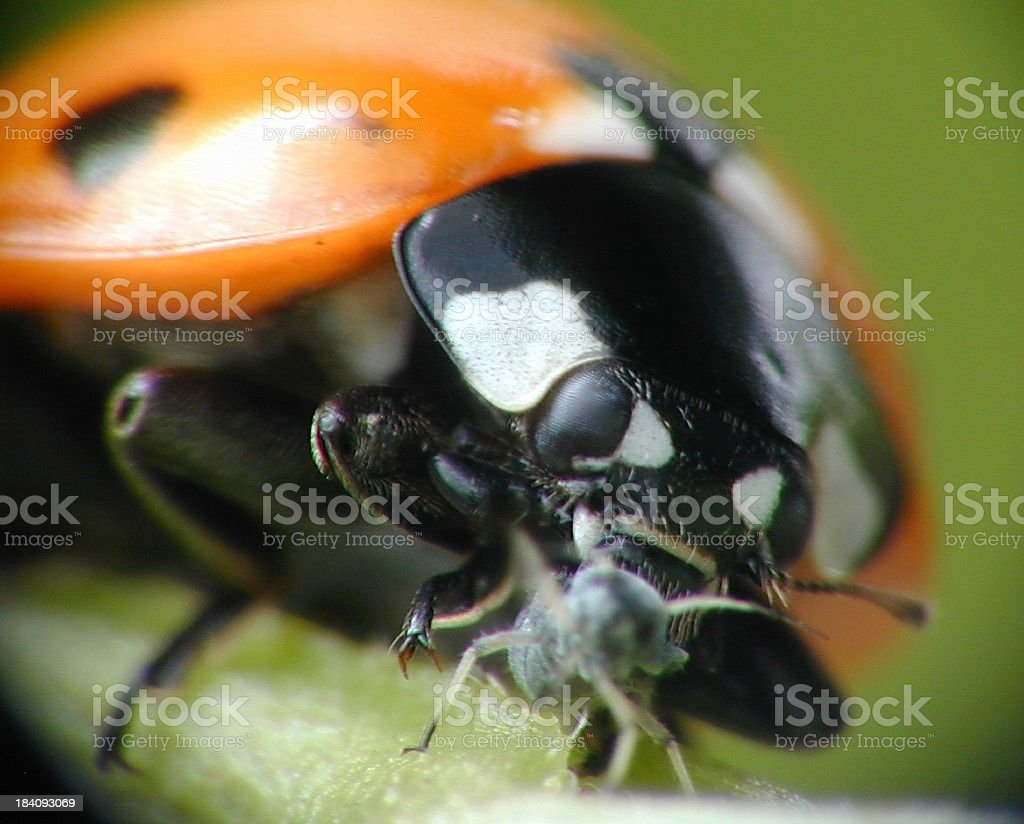 Eaten! Ladybird eating aphid extreme macro stock photo
