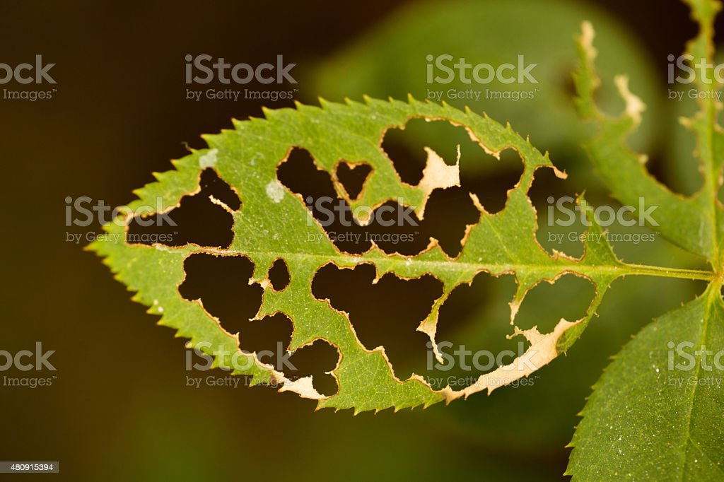 eaten up leaf stock photo