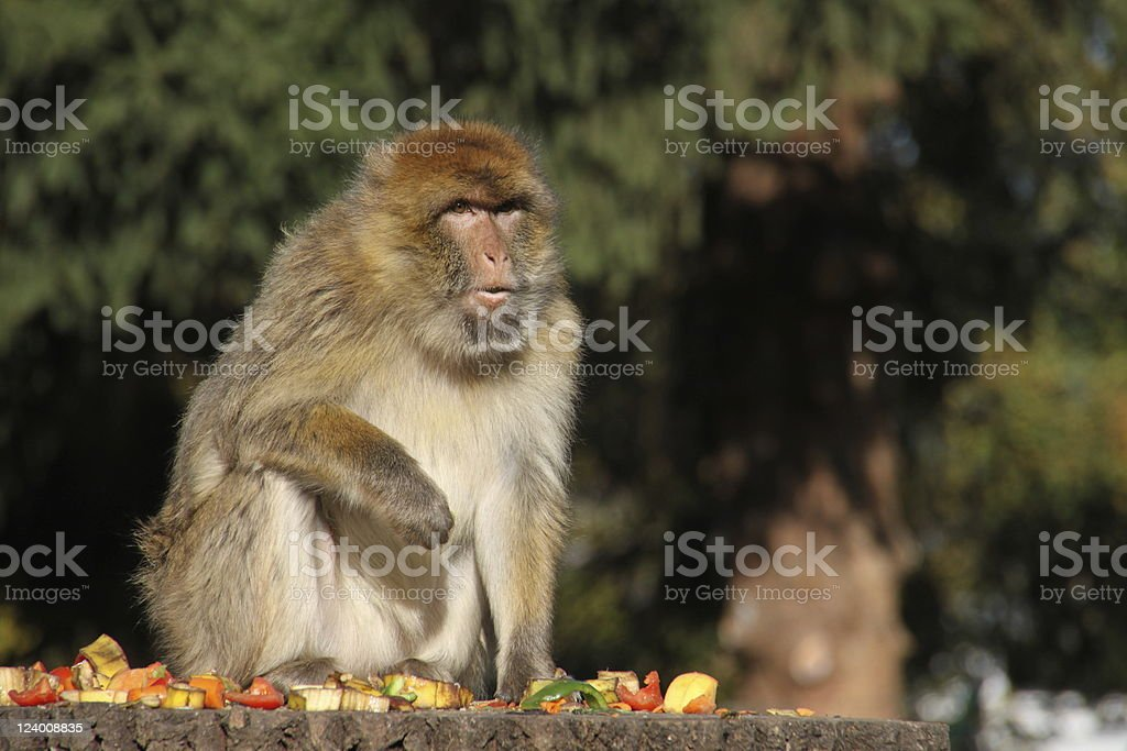 Eating Barbary Macaque stock photo