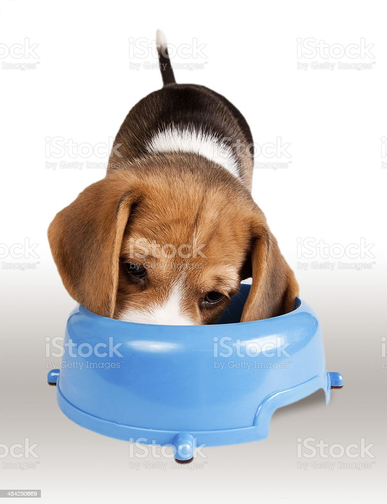 Eating Beagle Puppy Portrait Stock Photo Download Image Now Istock