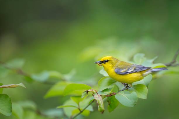 blue-winged warbler eten - zanger vogel stockfoto's en -beelden