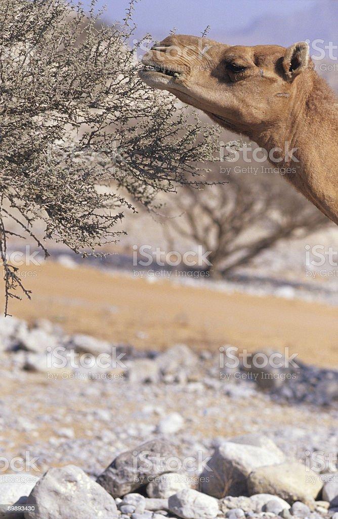 Ест верблюжий Стоковые фото Стоковая фотография