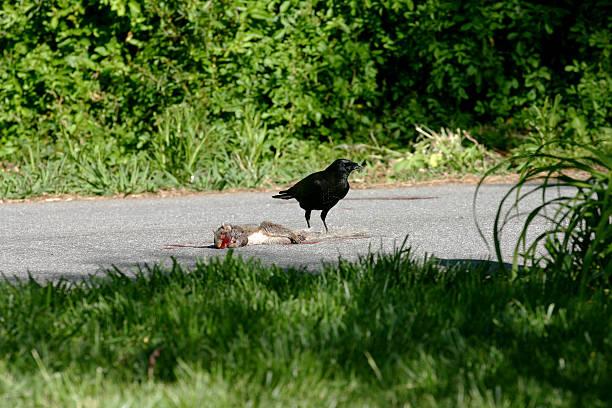 Comer Crow - foto de acervo