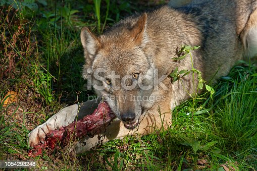 Eurasian wolf (Canis lupus lupus) with prey.