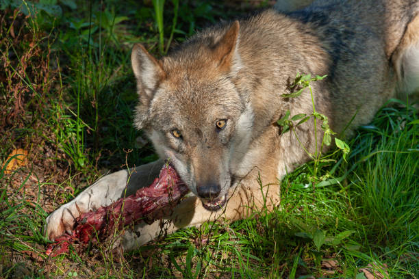 Eating eurasian wolf Eurasian wolf (Canis lupus lupus) with prey. carnivorous stock pictures, royalty-free photos & images