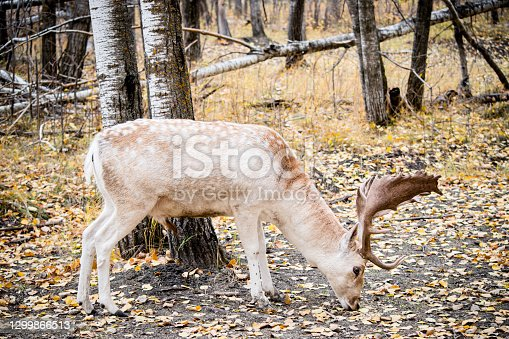 A beautiful fallow deer seen in the canadian forest eating off the ground with it's head down