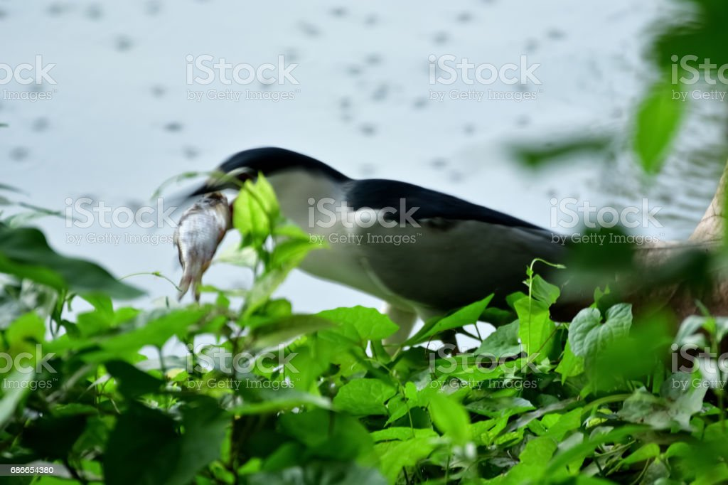 Eating fish royalty-free stock photo