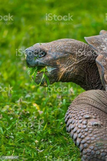 Eating giant tortoise on galapagos islands picture id1183658437?b=1&k=6&m=1183658437&s=612x612&h=auhzxg5qsdkuf3zauui4x4dd8h6pgennflcqmrdrkpq=