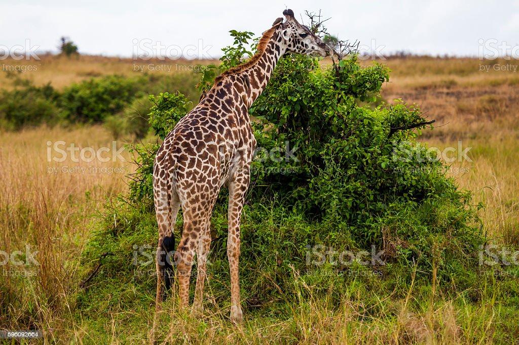 Eating giraffe in Kenya National Park royalty-free stock photo