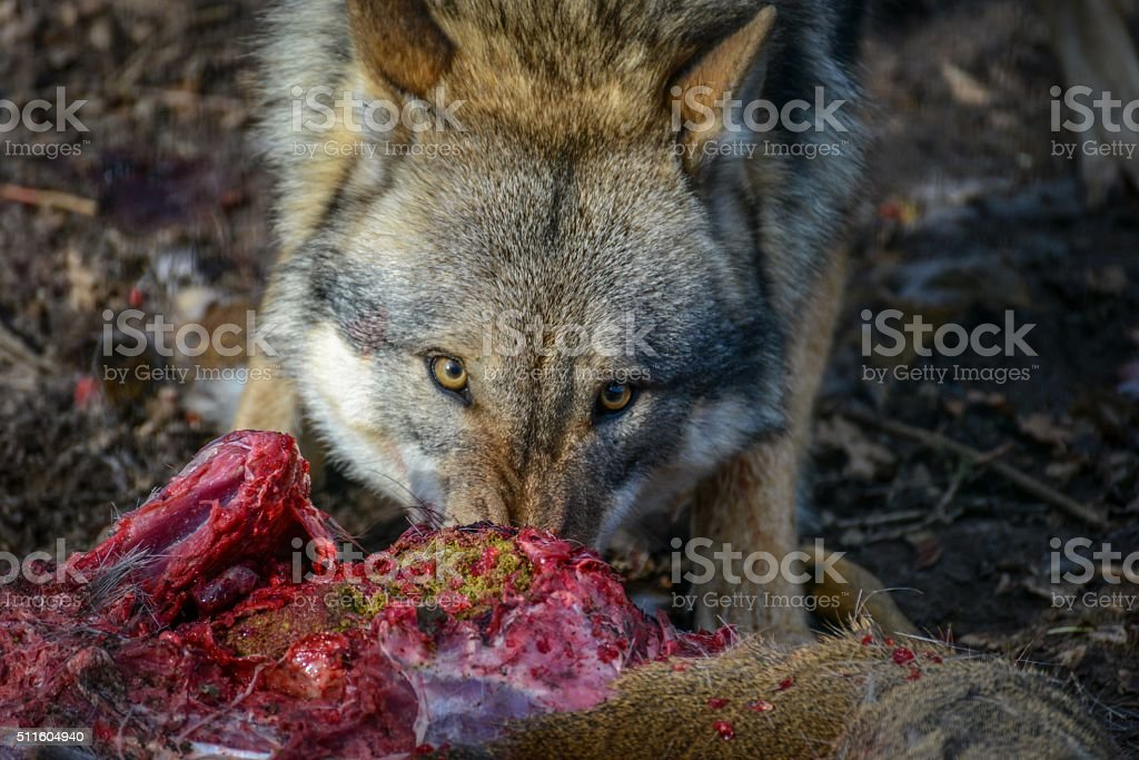 eating gray wolf in the forest stock photo