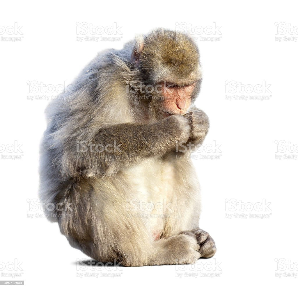 Eating Japanese macaque stock photo