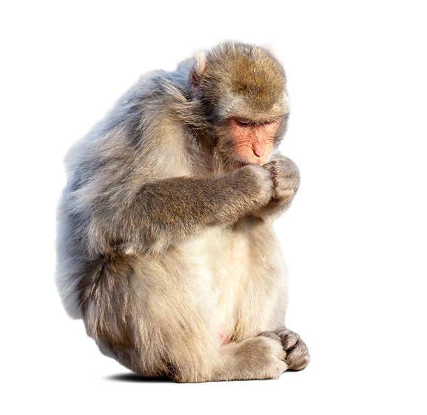 mangiare macaco del giappone - macaco foto e immagini stock