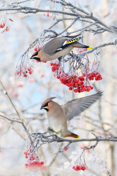 rowan bessen eten door vogels - vogel herfst stockfoto's en -beelden
