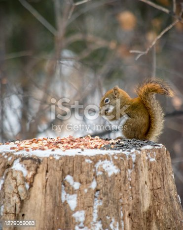 istock eating seeds 1279059063