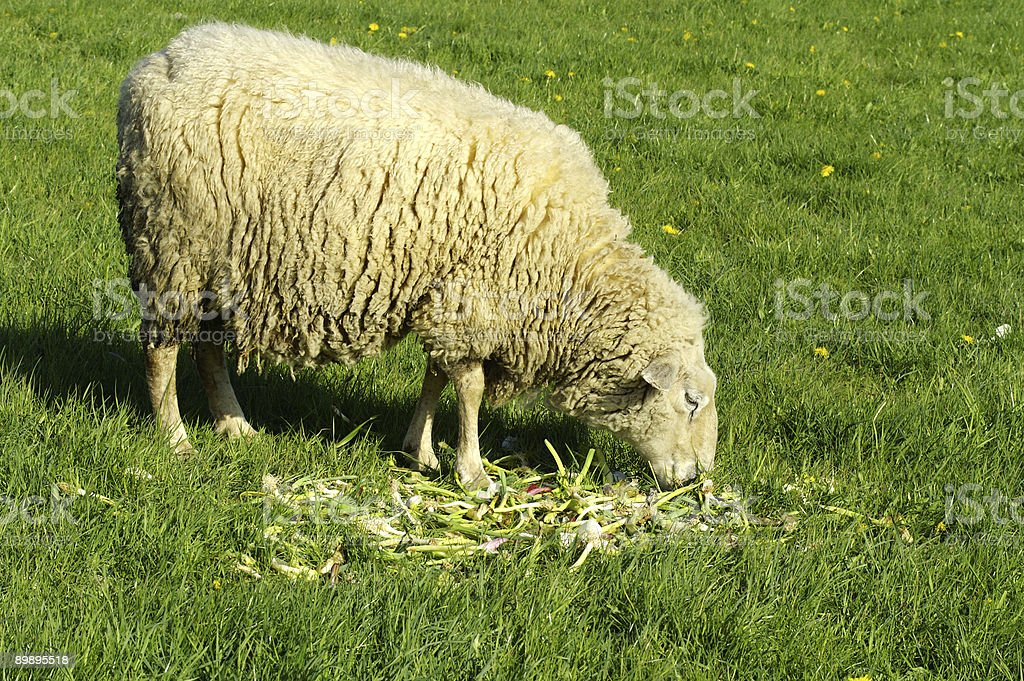 Eating sheep royalty-free stock photo