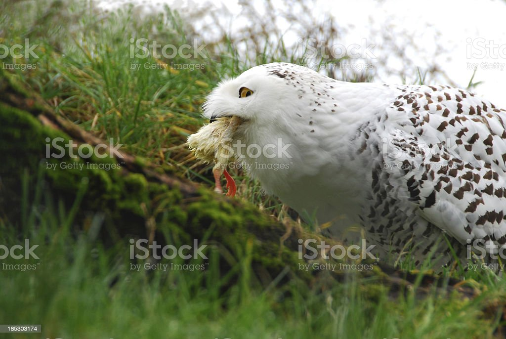 Eating Snowy Owl Stock Photo More Pictures Of Animal Istock