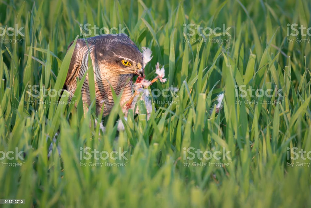 Eating Sparrowhawk stock photo