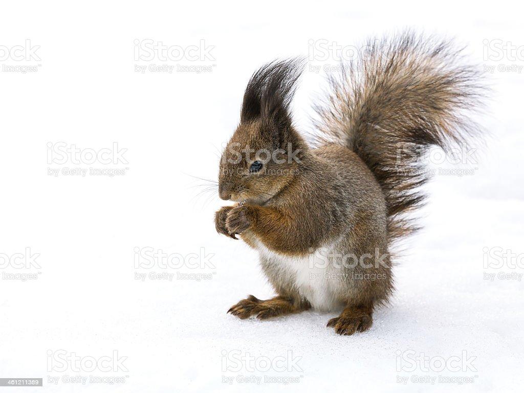 Eating squirrel closeup stock photo