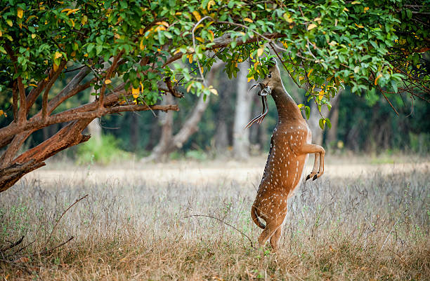 Eating wild  male cheetal deer Eating wild  male cheetal deer (Axis Axis). India National Park axis deer stock pictures, royalty-free photos & images
