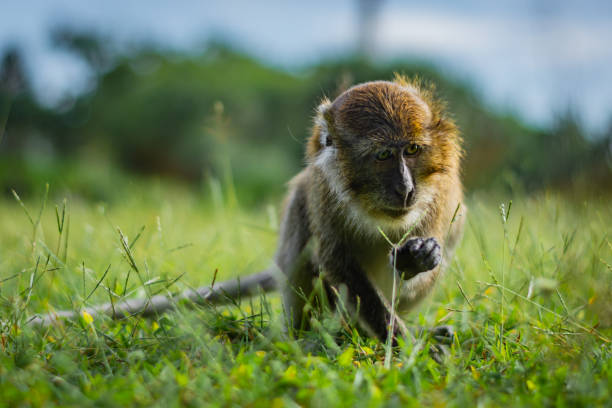 Eating-crab macaque (long-tailed macaque) is browsing a grass in Koh Lanta island in the National Park, Thailand – zdjęcie