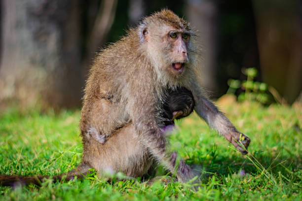 Eating-crab macaque (long-tailed macaque) mother is feeding young monkey attached to its breast in Koh Lanta island in the National Park, Thailand, the monkey begins to get angry – zdjęcie