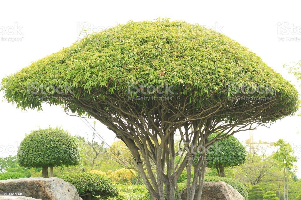 Ebenholz Bonsai Baum Dekoration Garten Im Park Lizenzfreies Stock Foto