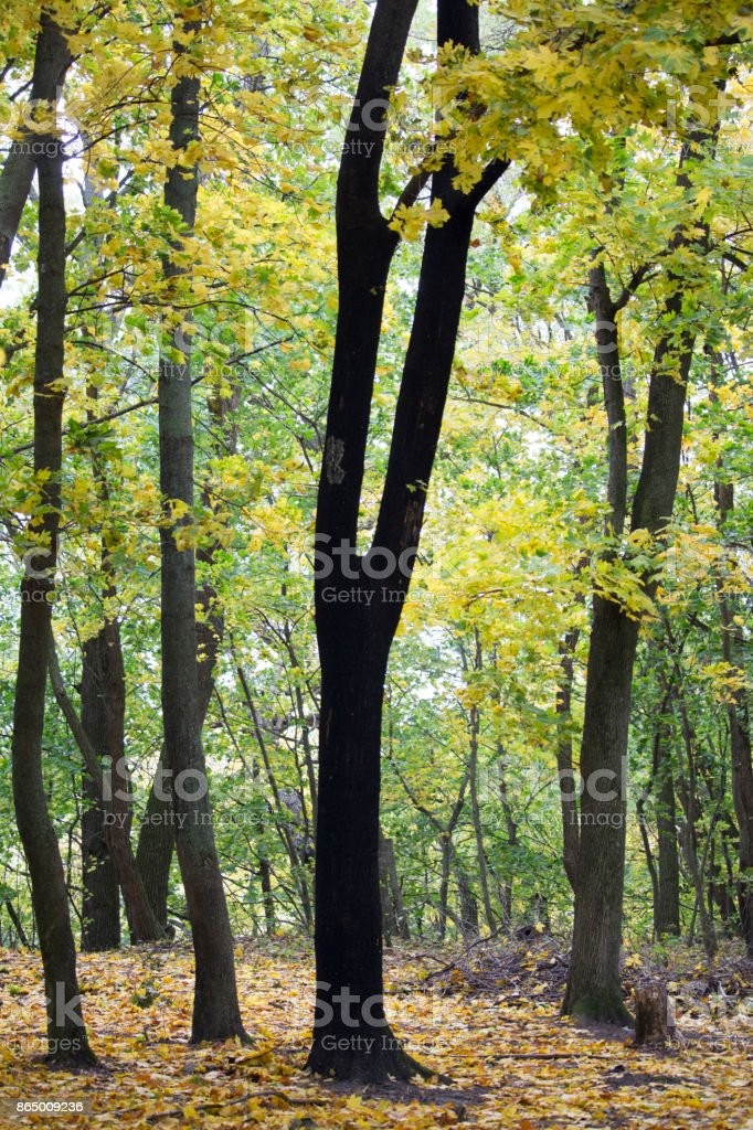 ebony in the autumn forest stock photo