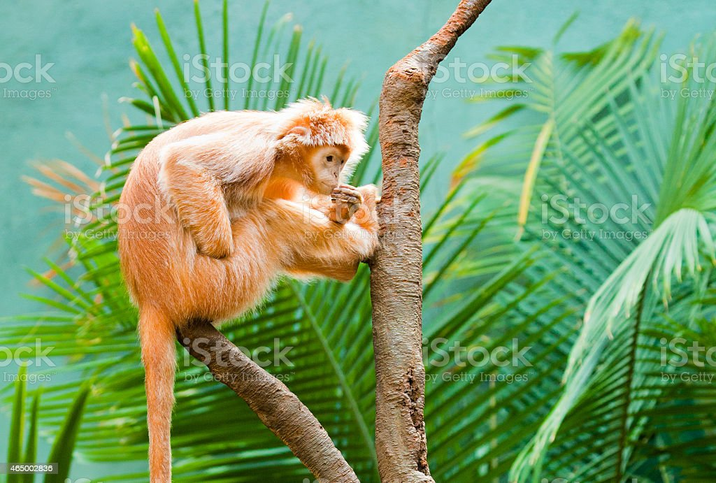Ebony Langur stock photo