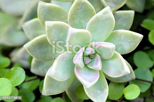 close-up image of a succulent plant, Echeveria elegans, Mexican Snowball