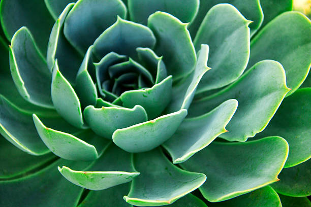 Echeveria elegans. - Photo