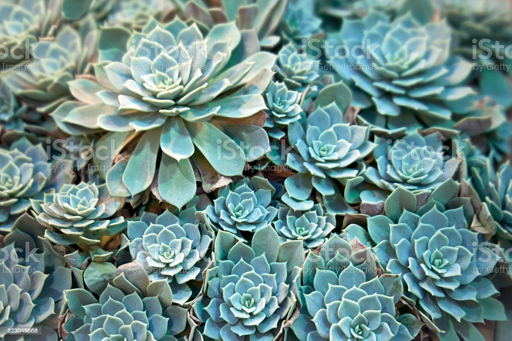 Echeveria plant stock photo
