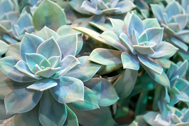 Echeveria plant Echeveria elegans - succulent evergreen perennial with rosettes of pale green-blue  leaves crassulaceae stock pictures, royalty-free photos & images