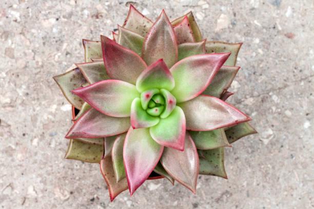 Echeveria red taurus plant closeup evergreen succulent plant with of picture id1154049426?b=1&k=6&m=1154049426&s=612x612&w=0&h=pu1gbuxvekitwebsxviqqtizw5bpyt7sj mu 8a9pb8=