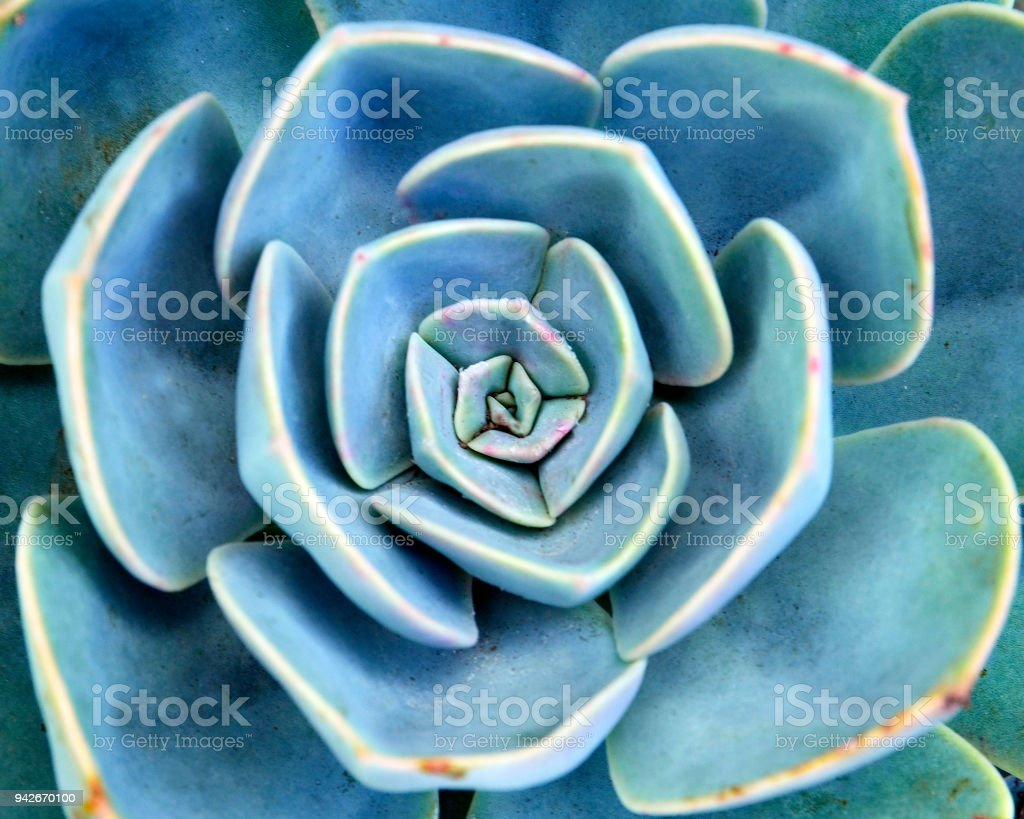 Echeveria succulent plant close up.Abstract floral background. stock photo